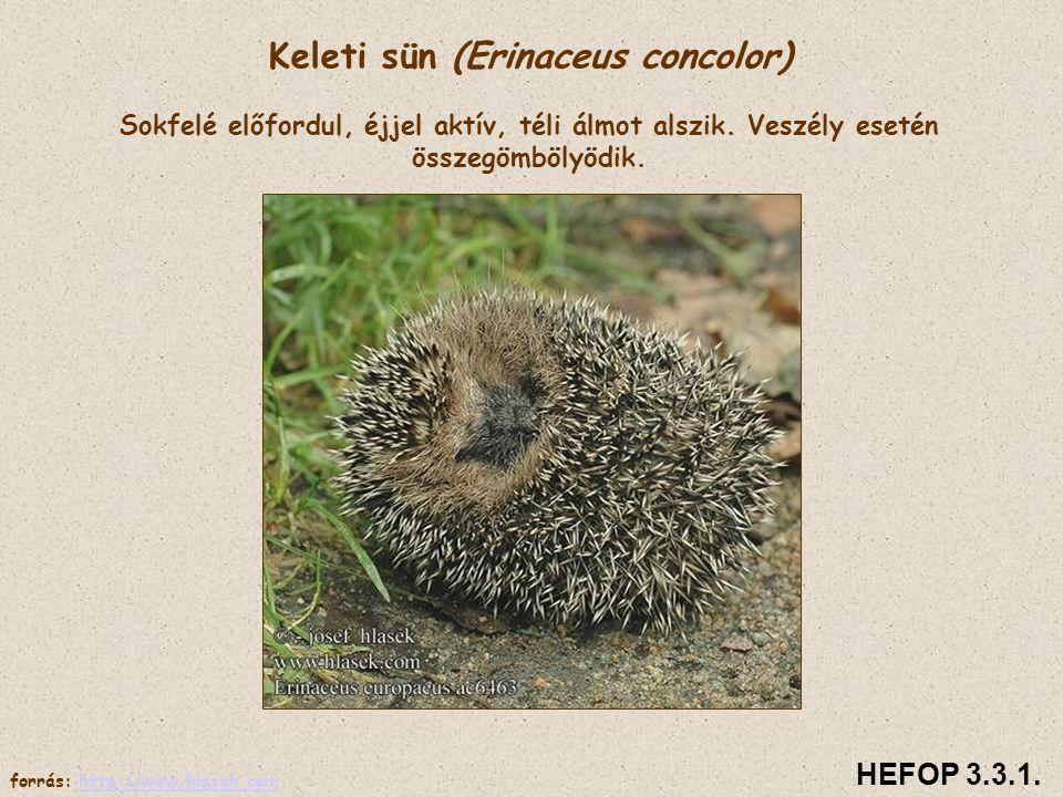 Keleti sün (Erinaceus concolor) Sokfelé előfordul, éjjel aktív, téli álmot alszik. Veszély esetén összegömbölyödik. HEFOP 3.3.1. forrás: http://www.hl