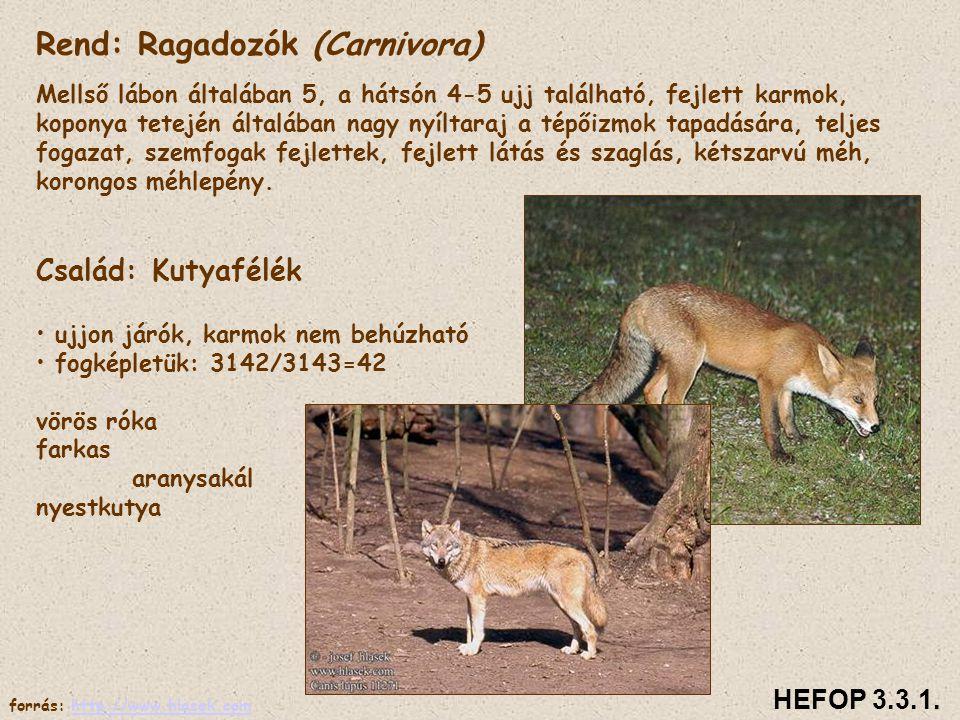 Rend: Ragadozók (Carnivora) Mellső lábon általában 5, a hátsón 4-5 ujj található, fejlett karmok, koponya tetején általában nagy nyíltaraj a tépőizmok