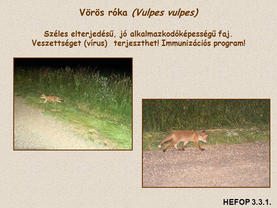 Vörös róka (Vulpes vulpes) Széles elterjedésű, jó alkalmazkodóképességű faj. Veszettséget (vírus) terjeszthet! Immunizációs program! HEFOP 3.3.1.