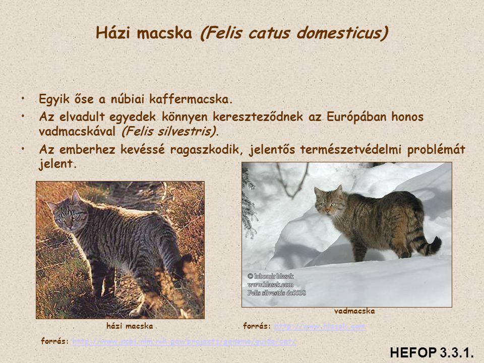 Házi macska (Felis catus domesticus) • •Egyik őse a núbiai kaffermacska. • •Az elvadult egyedek könnyen kereszteződnek az Európában honos vadmacskával