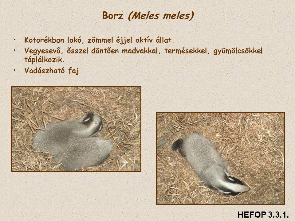 Borz (Meles meles) • •Kotorékban lakó, zömmel éjjel aktív állat. • •Vegyesevő, ősszel döntően madvakkal, termésekkel, gyümölcsökkel táplálkozik. • •Va