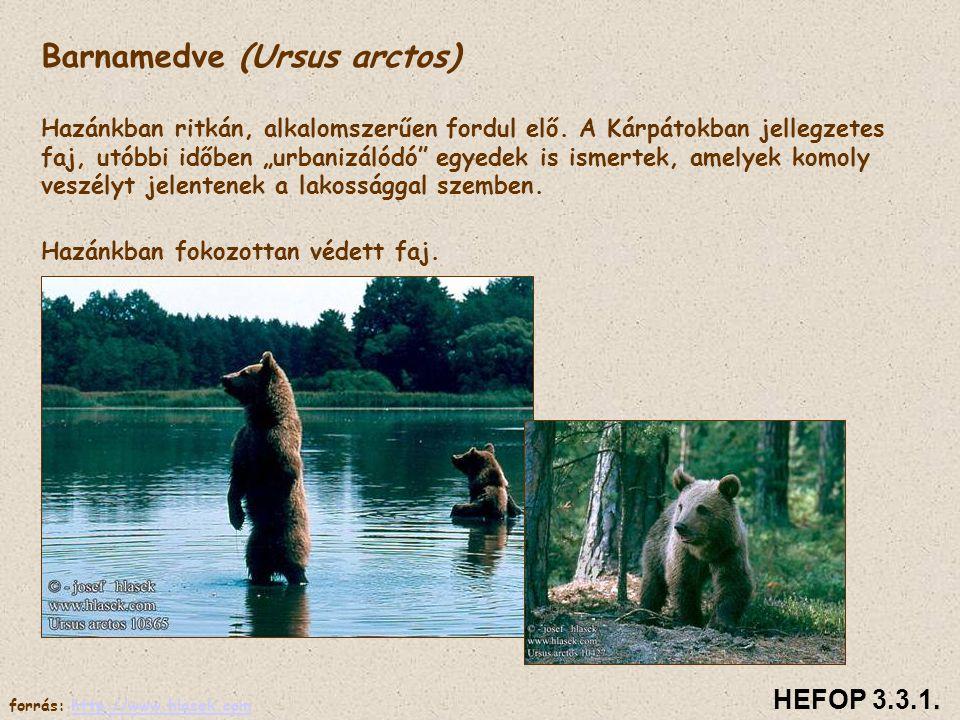 Család: Medvefélék Talpon járók, többségük mindenevő.Téli álom. Barnamedve (Ursus arctos) Hazánkban ritkán, alkalomszerűen fordul elő. A Kárpátokban j