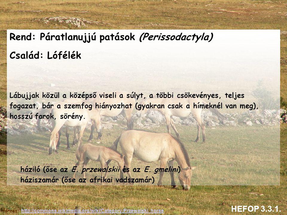Rend: Páratlanujjú patások (Perissodactyla) Család: Lófélék Lábujjak közül a középső viseli a súlyt, a többi csökevényes, teljes fogazat, bár a szemfo