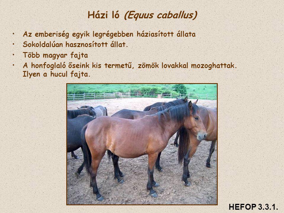 Házi ló (Equus caballus) • •Az emberiség egyik legrégebben háziasított állata • •Sokoldalúan hasznosított állat. • •Több magyar fajta • •A honfoglaló
