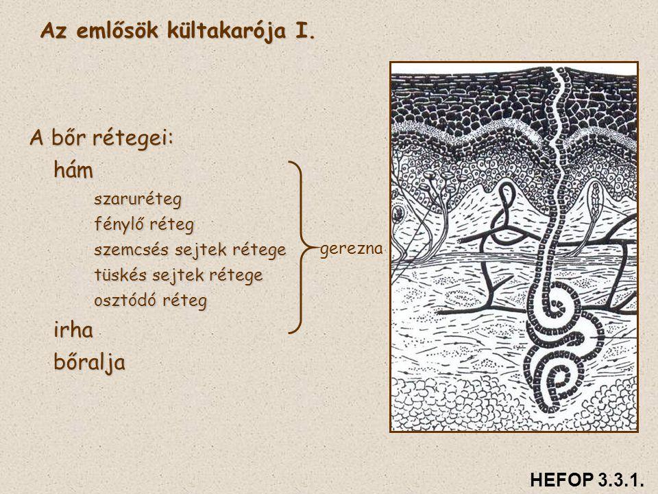Az emlősök kültakarója I. A bőr rétegei: hámszaruréteg fénylő réteg szemcsés sejtek rétege tüskés sejtek rétege osztódó réteg irhabőralja gerezna HEFO
