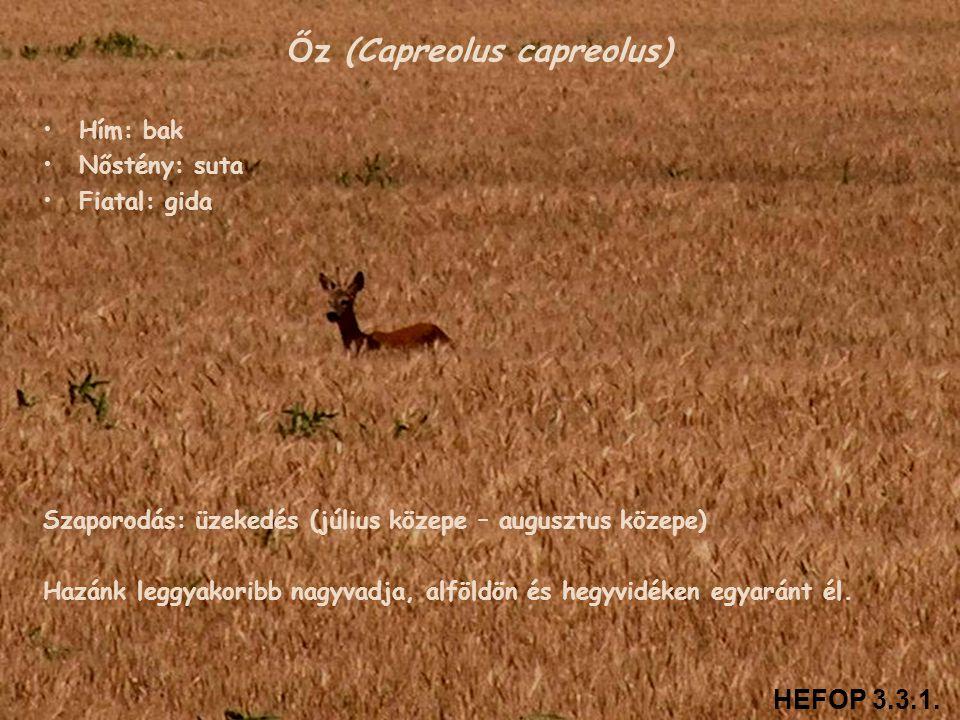 Őz (Capreolus capreolus) • •Hím: bak • •Nőstény: suta • •Fiatal: gida Szaporodás: üzekedés (július közepe – augusztus közepe) Hazánk leggyakoribb nagy
