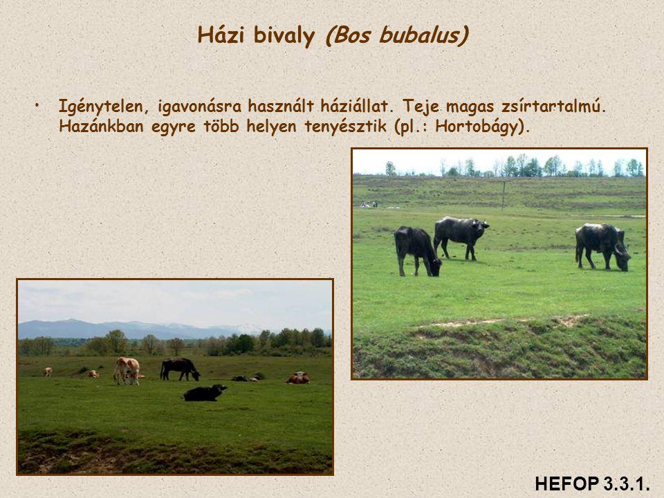 Házi bivaly (Bos bubalus) • •Igénytelen, igavonásra használt háziállat. Teje magas zsírtartalmú. Hazánkban egyre több helyen tenyésztik (pl.: Hortobág