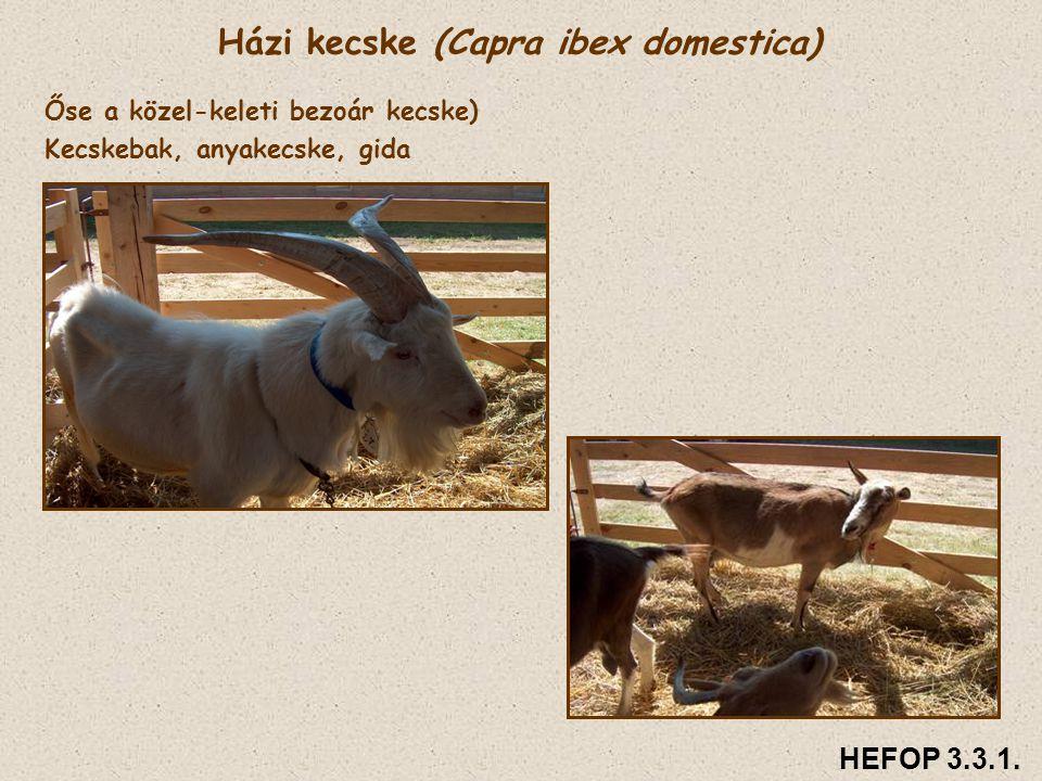 Házi kecske (Capra ibex domestica) Őse a közel-keleti bezoár kecske) Kecskebak, anyakecske, gida HEFOP 3.3.1.