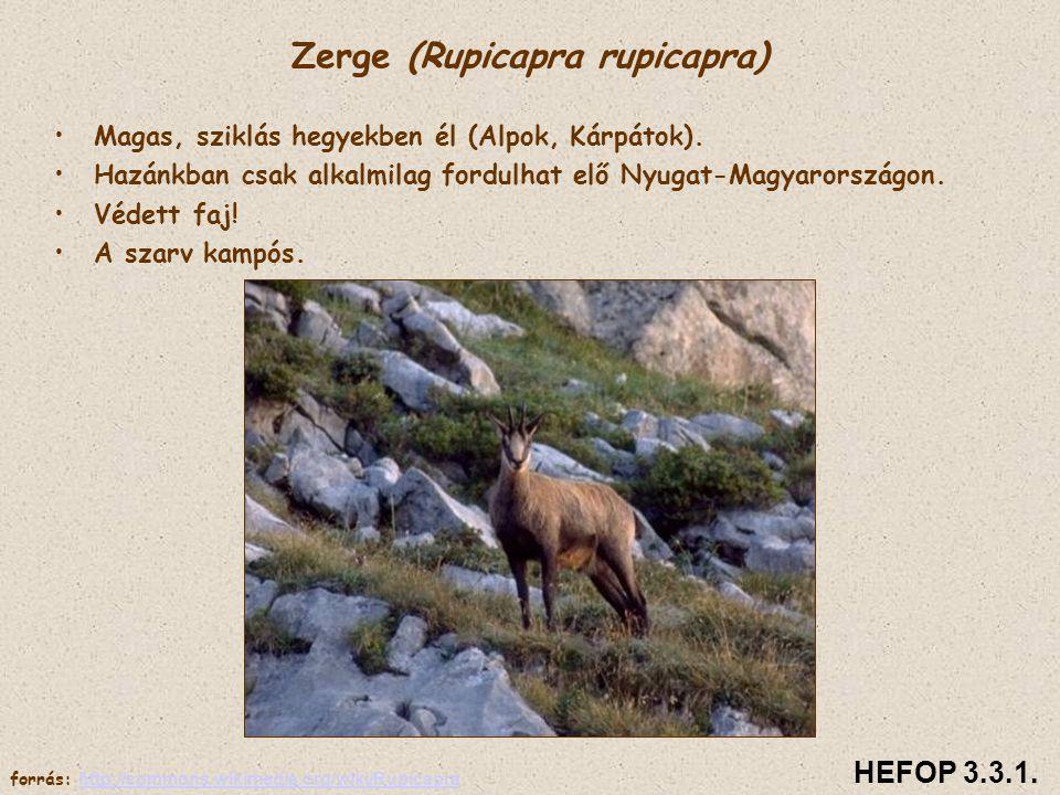 Zerge (Rupicapra rupicapra) • •Magas, sziklás hegyekben él (Alpok, Kárpátok). • •Hazánkban csak alkalmilag fordulhat elő Nyugat-Magyarországon. • •Véd