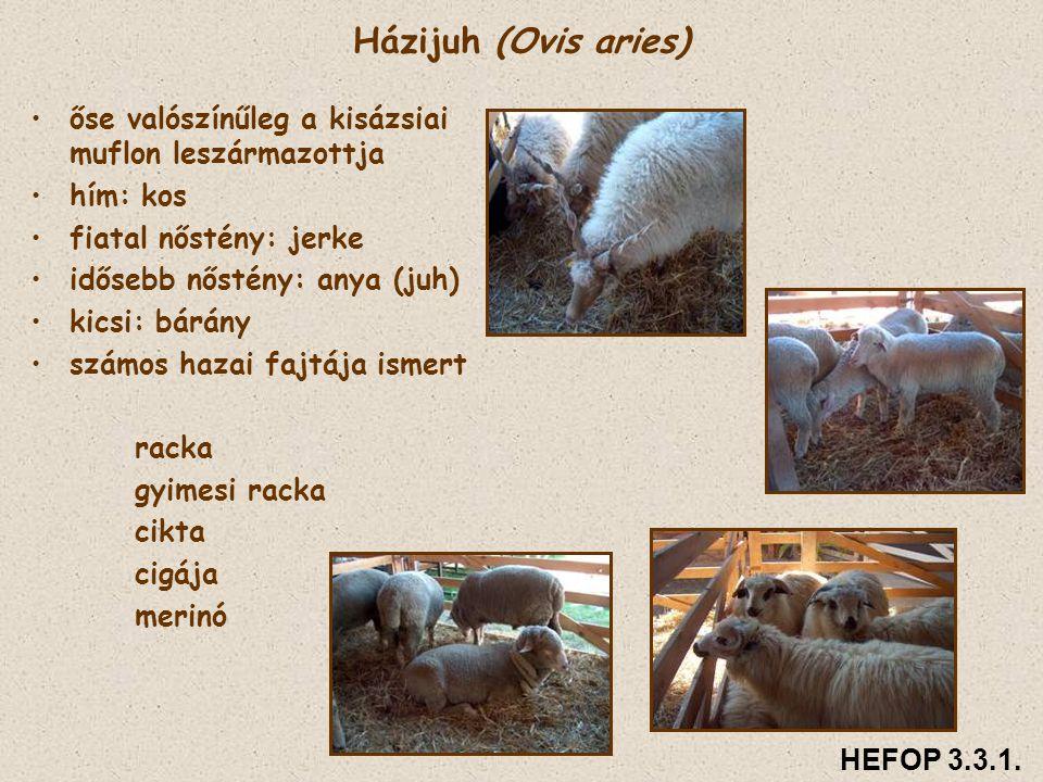 Házijuh (Ovis aries) • •őse valószínűleg a kisázsiai muflon leszármazottja • •hím: kos • •fiatal nőstény: jerke • •idősebb nőstény: anya (juh) • •kics