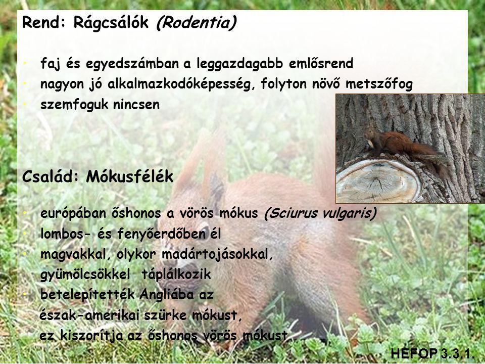 Rend: Rágcsálók (Rodentia) • •faj és egyedszámban a leggazdagabb emlősrend • •nagyon jó alkalmazkodóképesség, folyton növő metszőfog • •szemfoguk ninc