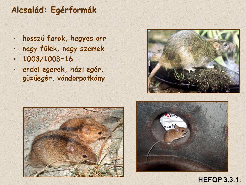 Alcsalád: Egérformák • •hosszú farok, hegyes orr • •nagy fülek, nagy szemek • •1003/1003=16 • •erdei egerek, házi egér, güzüegér, vándorpatkány HEFOP