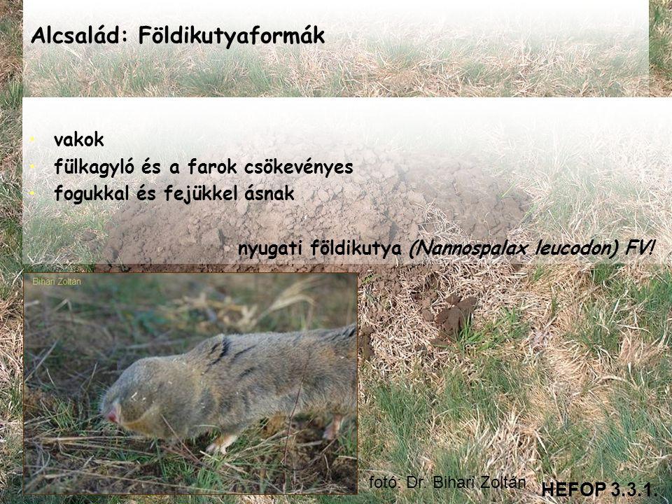 Alcsalád: Földikutyaformák • •vakok • •fülkagyló és a farok csökevényes • •fogukkal és fejükkel ásnak nyugati földikutya (Nannospalax leucodon) FV! HE