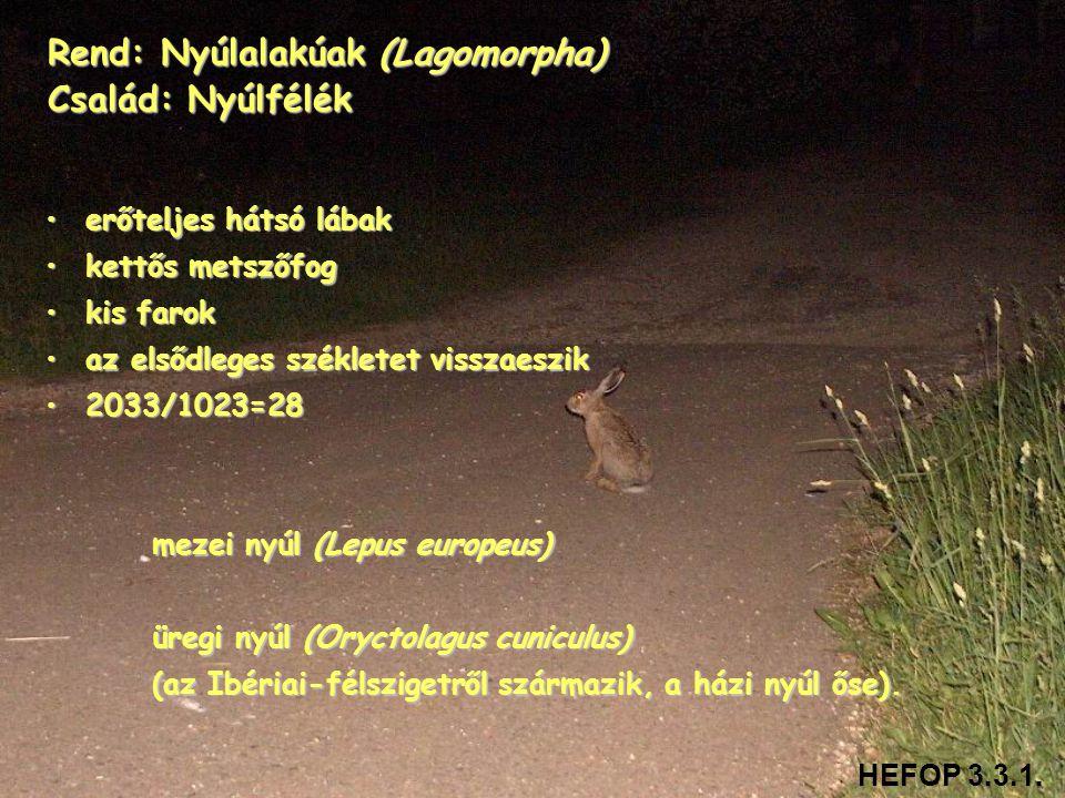 Rend: Nyúlalakúak (Lagomorpha) Család: Nyúlfélék •erőteljes hátsó lábak •kettős metszőfog •kis farok •az elsődleges székletet visszaeszik •2033/1023=2