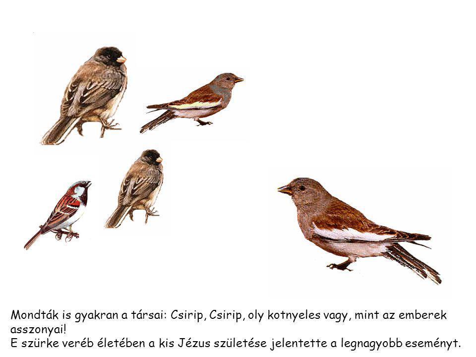Mondták is gyakran a társai: Csirip, Csirip, oly kotnyeles vagy, mint az emberek asszonyai.
