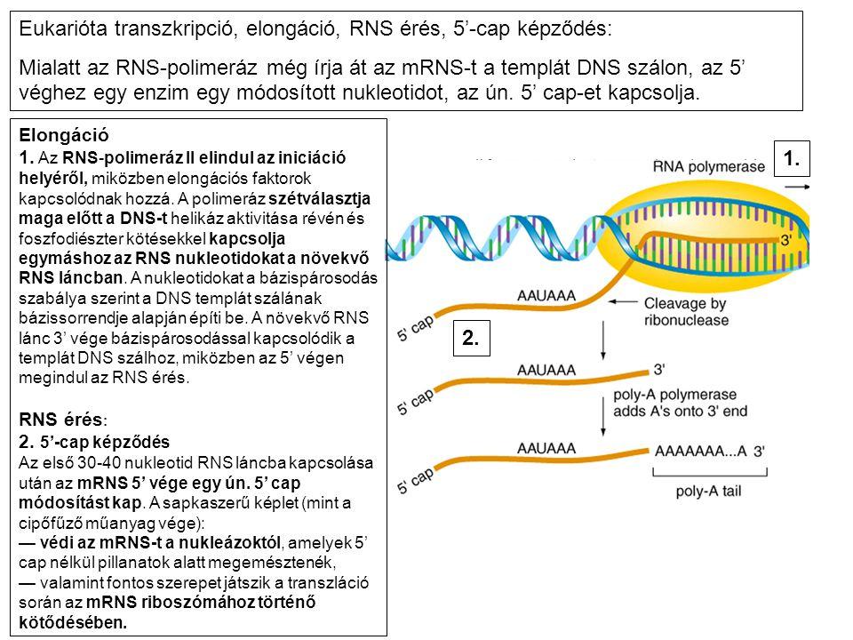 Elongáció 1. Az RNS-polimeráz II elindul az iniciáció helyéről, miközben elongációs faktorok kapcsolódnak hozzá. A polimeráz szétválasztja maga előtt