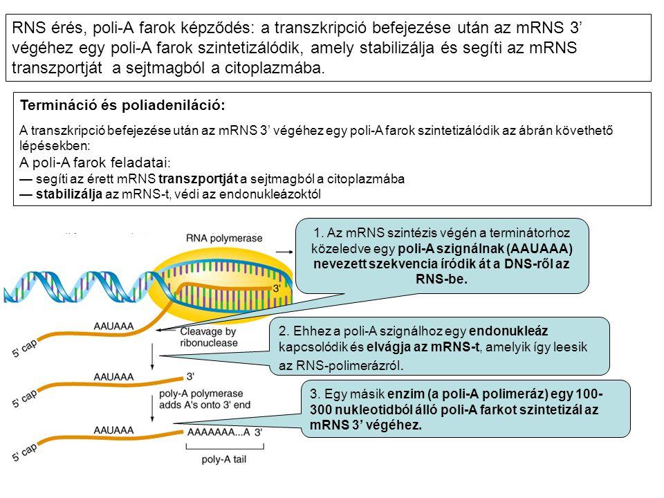 RNS érés, poli-A farok képződés: a transzkripció befejezése után az mRNS 3' végéhez egy poli-A farok szintetizálódik, amely stabilizálja és segíti az