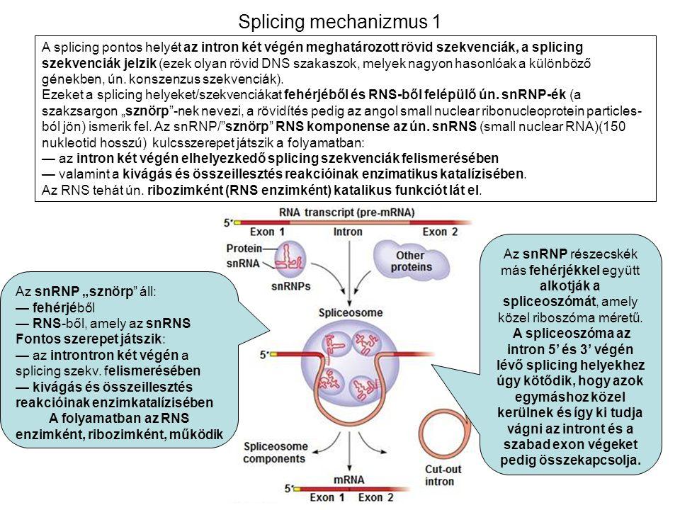 Splicing mechanizmus 1 A splicing pontos helyét az intron két végén meghatározott rövid szekvenciák, a splicing szekvenciák jelzik (ezek olyan rövid D