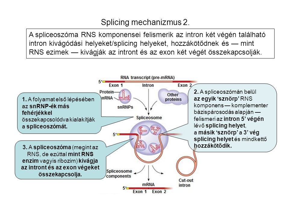 Splicing mechanizmus 2. 1. A folyamat első lépésében az snRNP-ék más fehérjékkel összekapcsolódva kialakítják a spliceoszómát. 2. A spliceoszómán belü