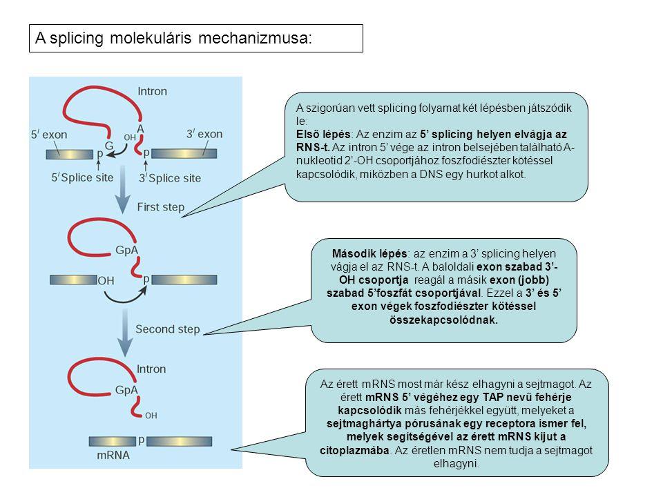 A szigorúan vett splicing folyamat két lépésben játszódik le: Első lépés: Az enzim az 5' splicing helyen elvágja az RNS-t. Az intron 5' vége az intron