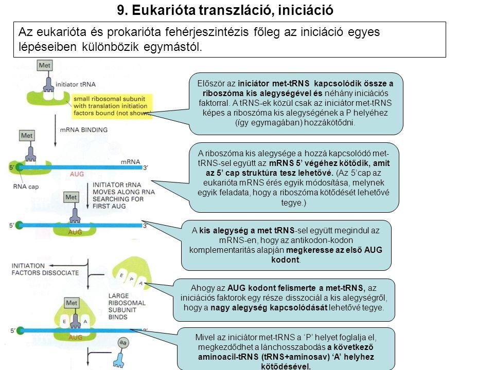 9. Eukarióta transzláció, iniciáció Először az iniciátor met-tRNS kapcsolódik össze a riboszóma kis alegységével és néhány iniciációs faktorral. A tRN