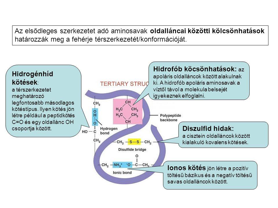 Az elsődleges szerkezetet adó aminosavak oldalláncai közötti kölcsönhatások határozzák meg a fehérje térszerkezetét/konformációját. Hidrogénhíd kötése