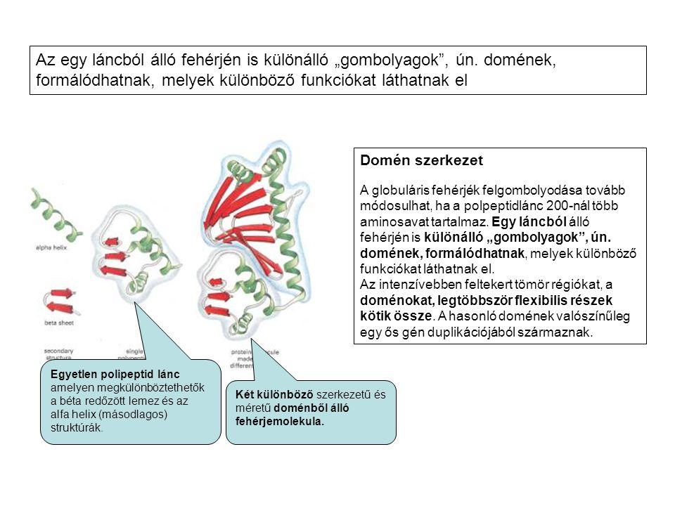 Domén szerkezet A globuláris fehérjék felgombolyodása tovább módosulhat, ha a polpeptidlánc 200-nál több aminosavat tartalmaz. Egy láncból álló fehérj