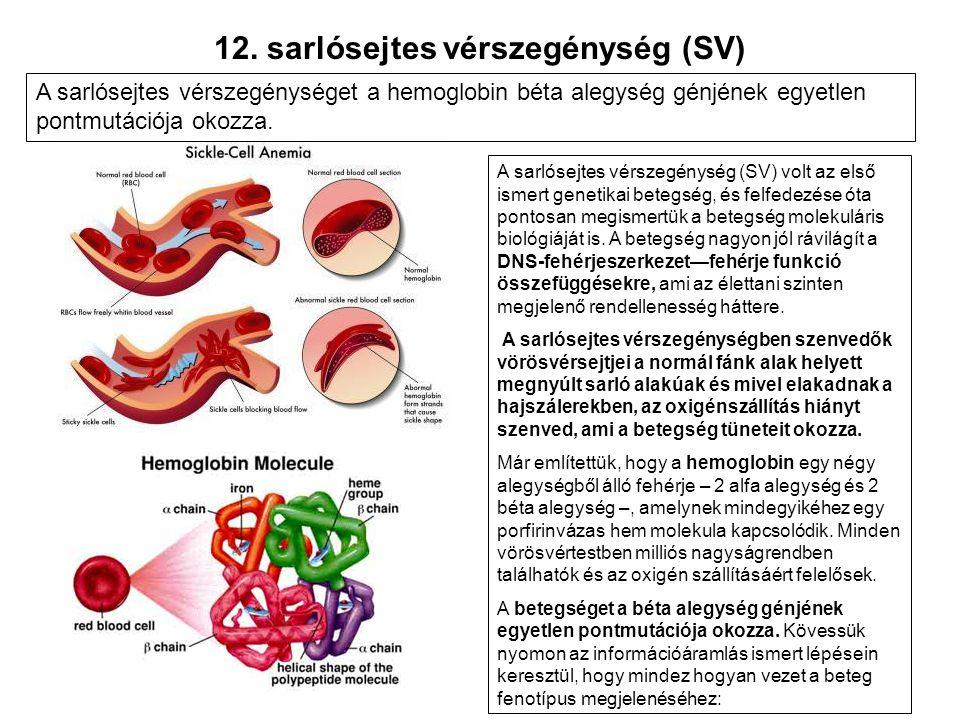 12. sarlósejtes vérszegénység (SV) A sarlósejtes vérszegénység (SV) volt az első ismert genetikai betegség, és felfedezése óta pontosan megismertük a