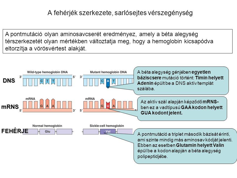 A fehérjék szerkezete, sarlósejtes vérszegénység A béta alegység génjében egyetlen báziscsere mutáció történt: Timin helyett Adenin épült be a DNS akt