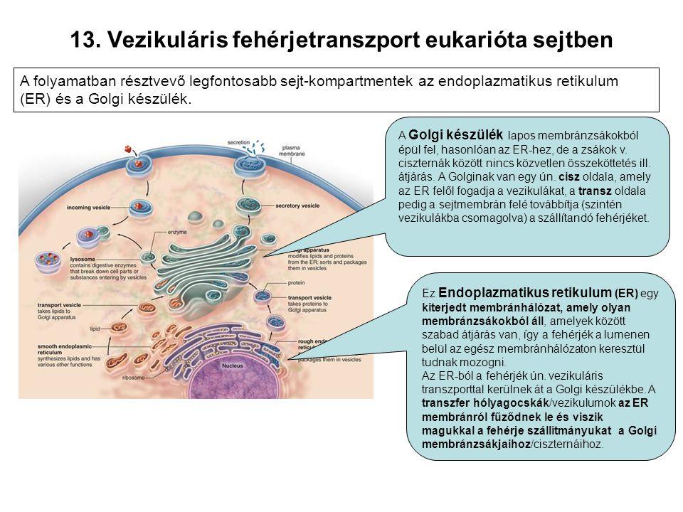 13. Vezikuláris fehérjetranszport eukarióta sejtben A folyamatban résztvevő legfontosabb sejt-kompartmentek az endoplazmatikus retikulum (ER) és a Gol