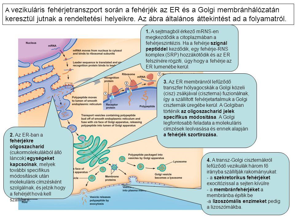 A vezikuláris fehérjetranszport során a fehérjék az ER és a Golgi membránhálózatán keresztül jutnak a rendeltetési helyeikre. Az ábra általános átteki