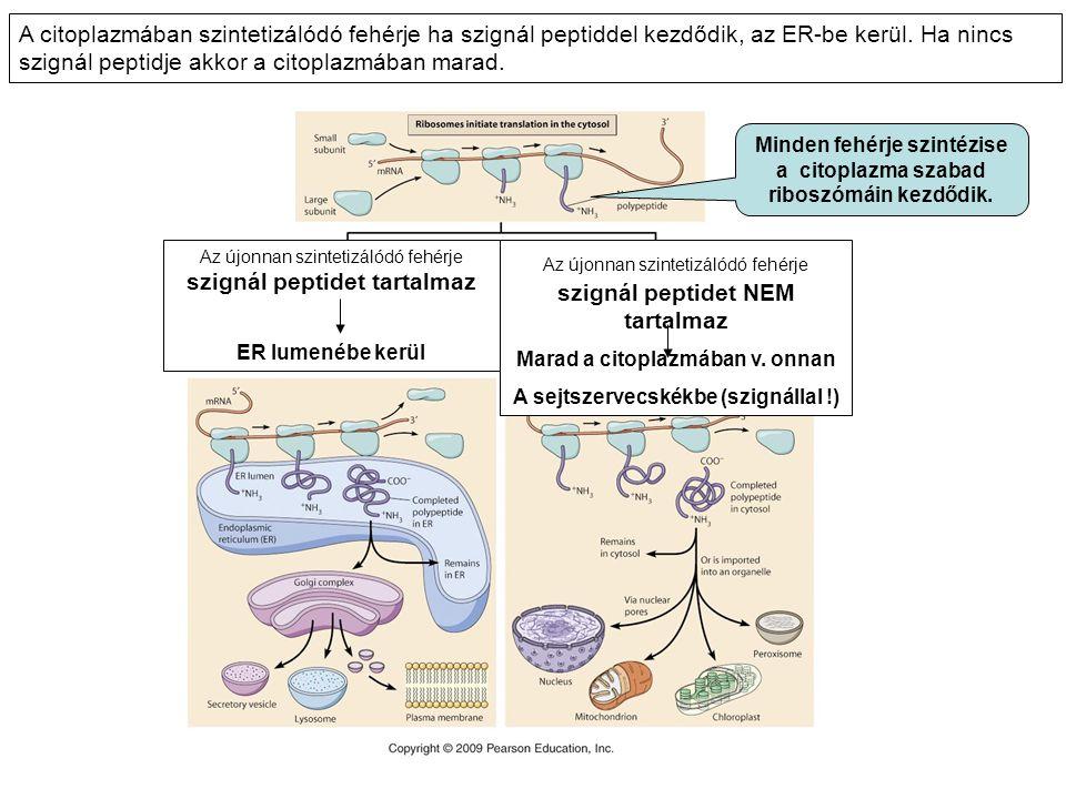 Az újonnan szintetizálódó fehérje szignál peptidet tartalmaz ER lumenébe kerül Az újonnan szintetizálódó fehérje szignál peptidet NEM tartalmaz Marad