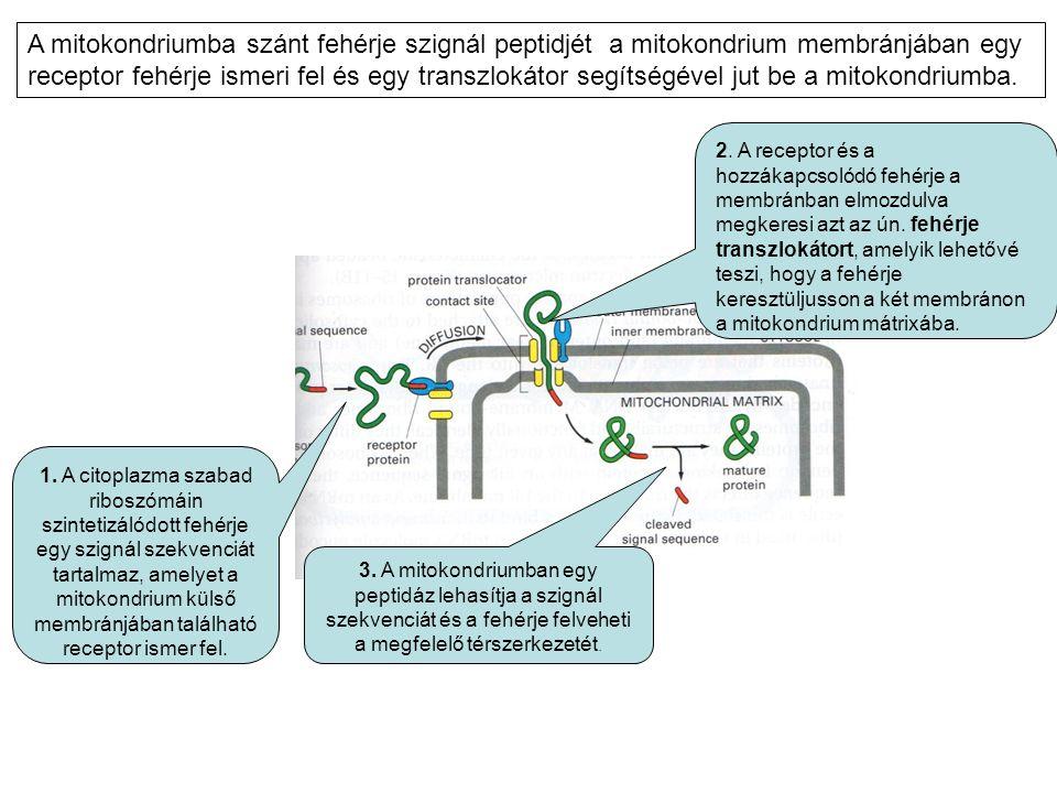1. A citoplazma szabad riboszómáin szintetizálódott fehérje egy szignál szekvenciát tartalmaz, amelyet a mitokondrium külső membránjában található rec