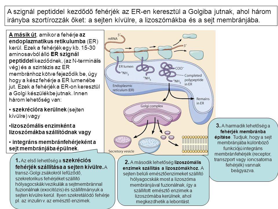A másik út, amikor a fehérje az endoplazmatikus retikulumba (ER) kerül. Ezek a fehérjék egy kb. 15-30 aminosavból álló ER szignál peptiddel kezdődnek,