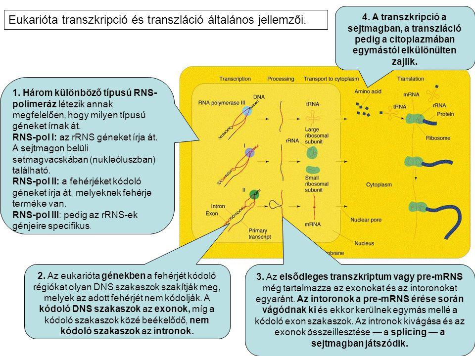 1. Három különböző típusú RNS- polimeráz létezik annak megfelelően, hogy milyen típusú géneket írnak át. RNS-pol I: az rRNS géneket írja át. A sejtmag