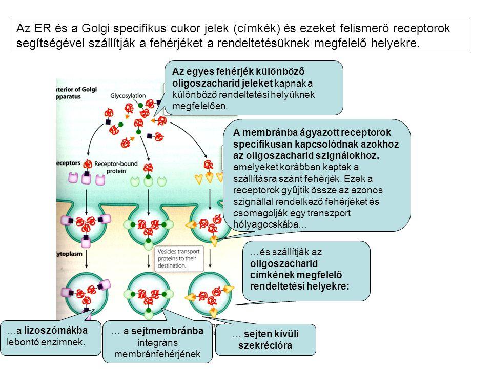 Az egyes fehérjék különböző oligoszacharid jeleket kapnak a különböző rendeltetési helyüknek megfelelően. A membránba ágyazott receptorok specifikusan