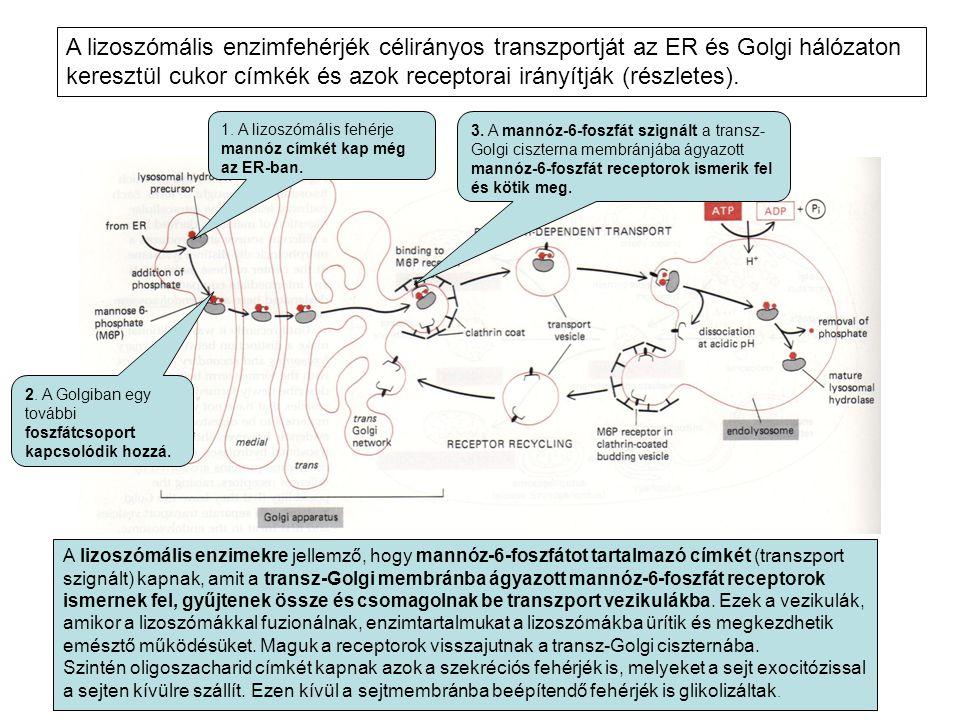 1. A lizoszómális fehérje mannóz címkét kap még az ER-ban. A lizoszómális enzimekre jellemző, hogy mannóz-6-foszfátot tartalmazó címkét (transzport sz