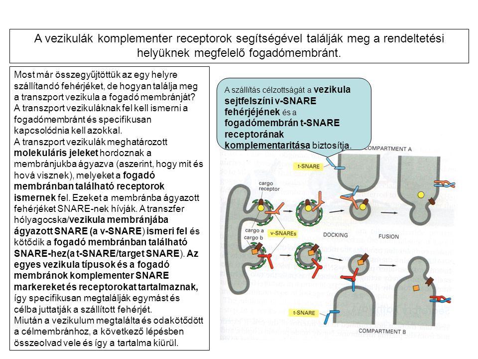 Most már összegyűjtöttük az egy helyre szállítandó fehérjéket, de hogyan találja meg a transzport vezikula a fogadó membránját? A transzport vezikulák