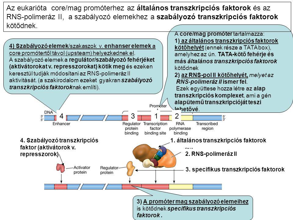 A core/mag promóter tartalmazza: 1) az általános transzkripciós faktorok kötőhelyét (ennek része a TATA box), amelyhez az ún. TATA-kötő fehérje és más