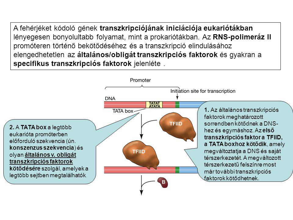 1. Az általános transzkripciós faktorok meghatározott sorrendben kötődnek a DNS- hez és egymáshoz. Az első transzkripciós faktor a TFIID, a TATA boxho