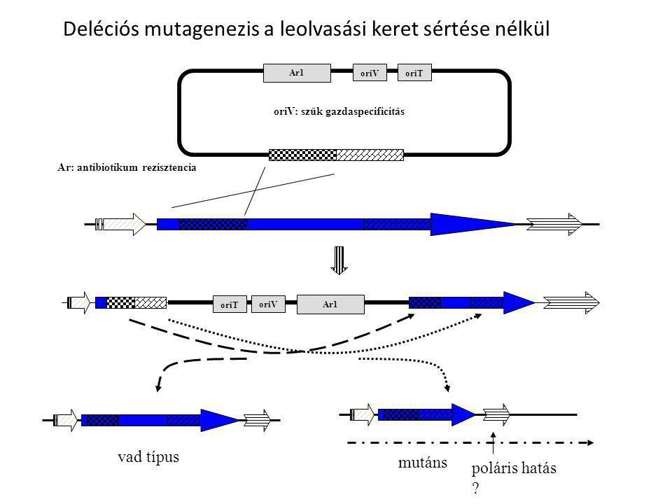 Ar1 oriV Ar1 oriV vad típus mutáns poláris hatás ? Deléciós mutagenezis a leolvasási keret sértése nélkül oriV: szűk gazdaspecificitás oriT Ar: antibi