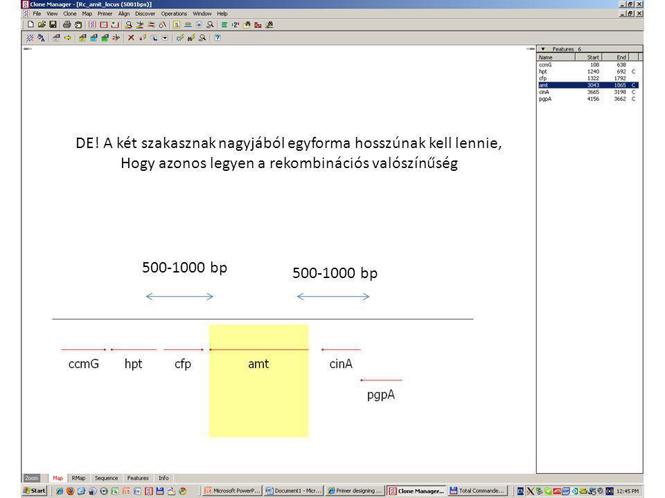 500-1000 bp DE! A két szakasznak nagyjából egyforma hosszúnak kell lennie, Hogy azonos legyen a rekombinációs valószínűség