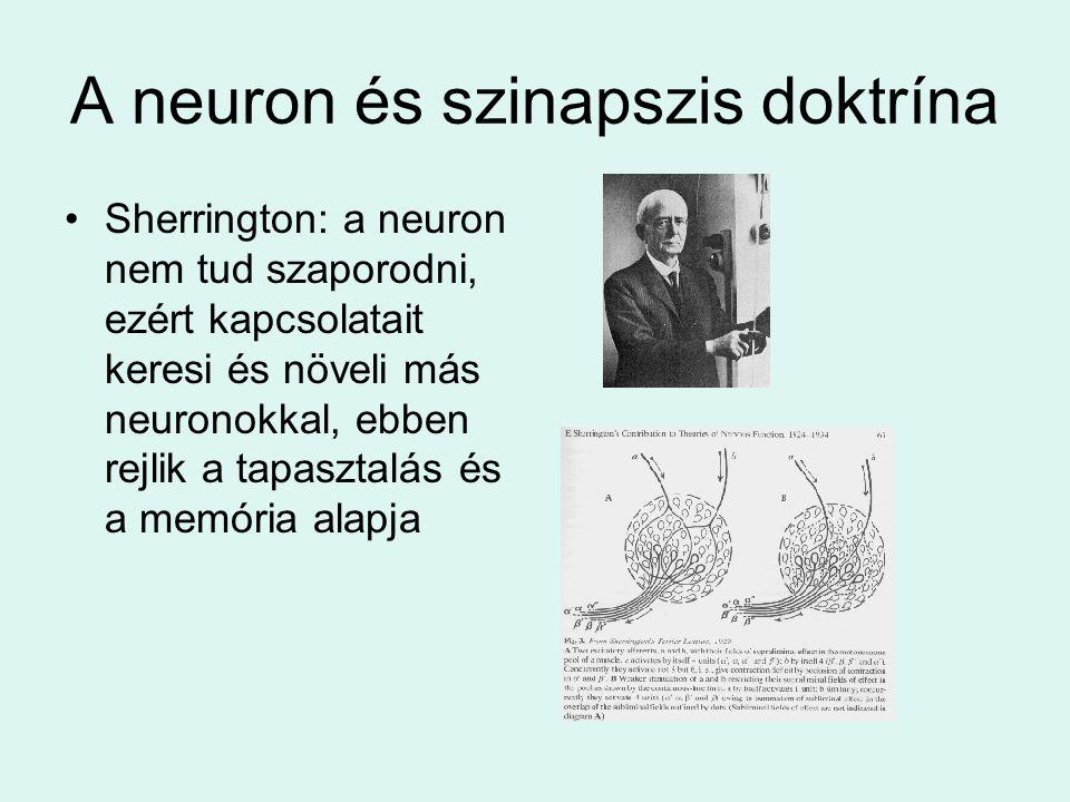 A neuron és szinapszis doktrína •Sherrington: a neuron nem tud szaporodni, ezért kapcsolatait keresi és növeli más neuronokkal, ebben rejlik a tapasztalás és a memória alapja