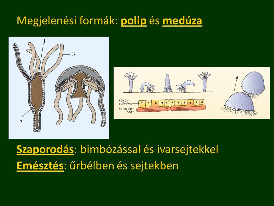 Megjelenési formák: polip és medúza Szaporodás: bimbózással és ivarsejtekkel Emésztés: űrbélben és sejtekben