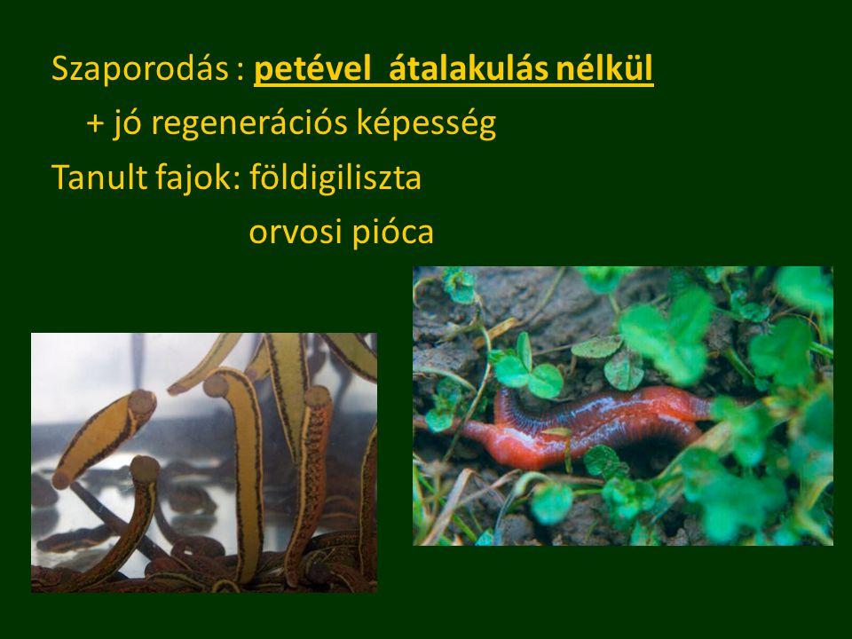 Szaporodás : petével átalakulás nélkül + jó regenerációs képesség Tanult fajok: földigiliszta orvosi pióca