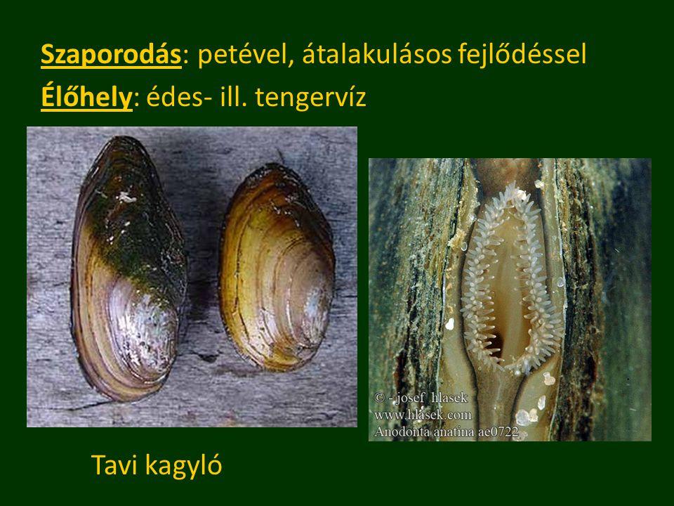 Szaporodás: petével, átalakulásos fejlődéssel Élőhely: édes- ill. tengervíz Tavi kagyló