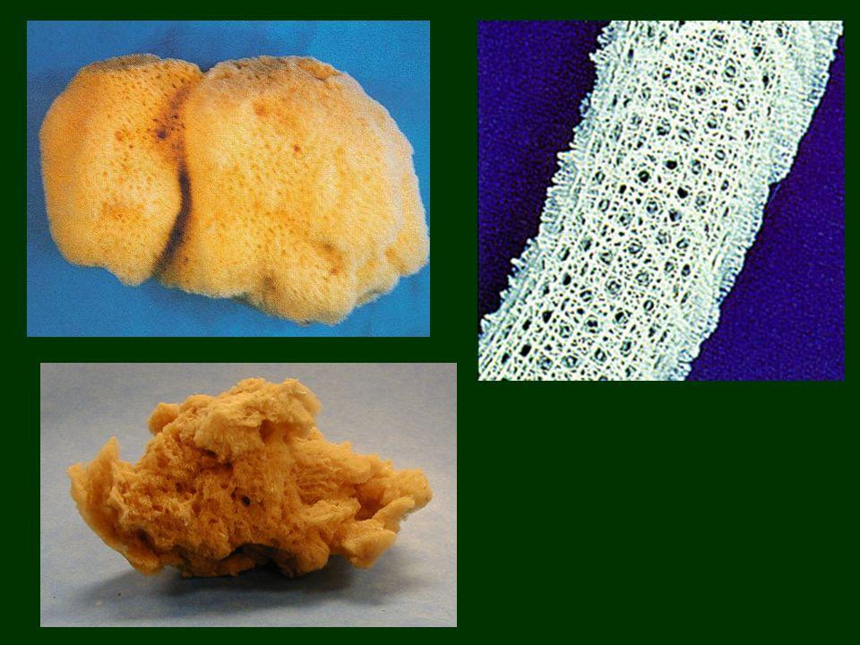Szivacsok törzse -Vízben élő, helytülő, állattelepeket alkotó fajok -Nincsenek szöveteik ( álszövetes szerveződés ) -Testük két sejtrétegű : Belső: galléros-ostoros sejtek : vízáramlás, emésztés, táplálék továbbítása Külső: fedősejt : védelem vándorsejt: szállítás amőboid mozgással