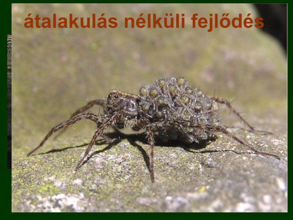 petecsom ó kis pókokkifejlett példány átalakulás nélküli fejlődés