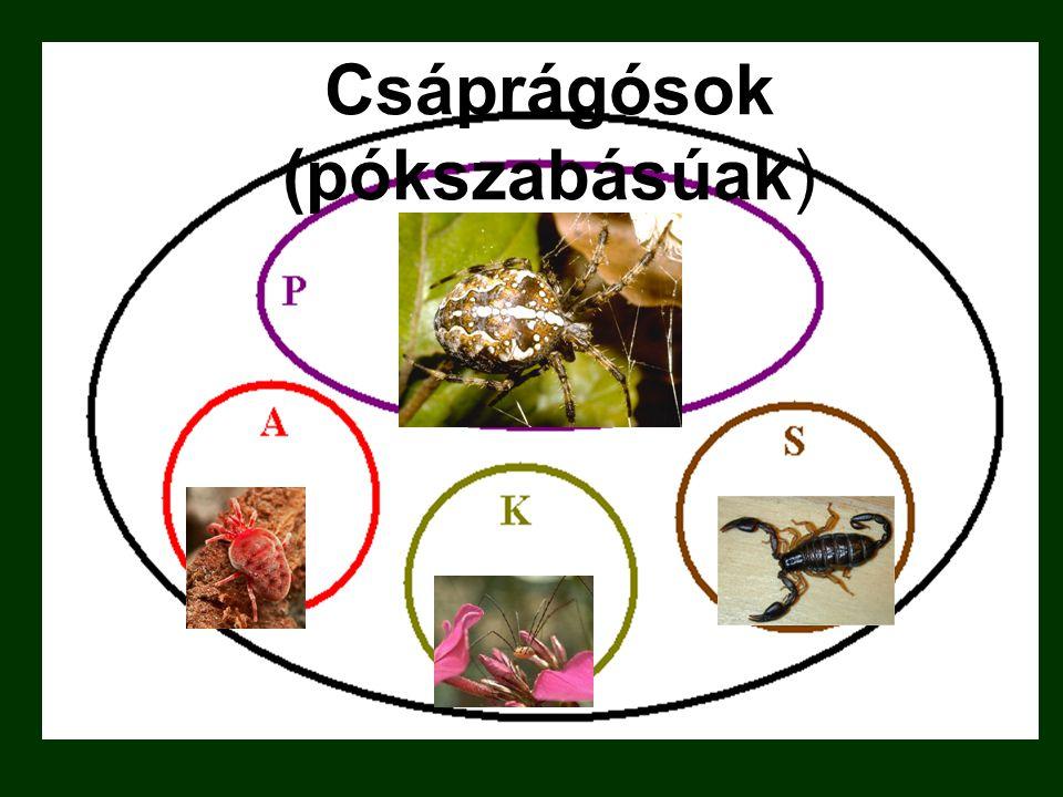 Csáprágósok (pókszabásúak)
