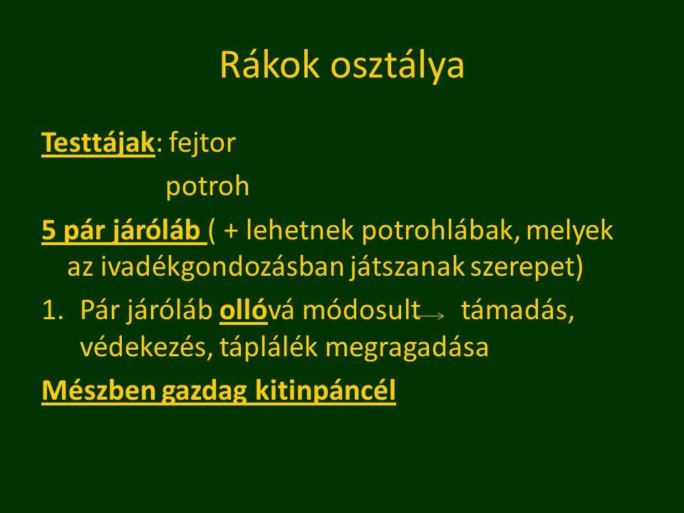 Rákok osztálya Testtájak: fejtor potroh 5 pár járóláb ( + lehetnek potrohlábak, melyek az ivadékgondozásban játszanak szerepet) 1.Pár járóláb ollóvá módosult támadás, védekezés, táplálék megragadása Mészben gazdag kitinpáncél